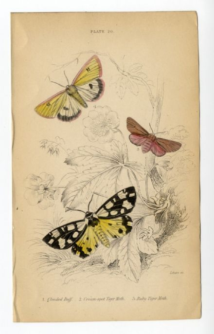 1836 MOTHS JARDINES Antique Print CLOUDED BUFF Cream Spot Tiger RUBY TIGER Engraved by William Lizars  HAND COLOUR